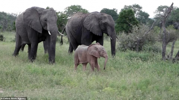 Gặp gỡ chú voi con màu hồng ở công viên Nam Phi để thấy tự nhiên có quá nhiều điều kì diệu