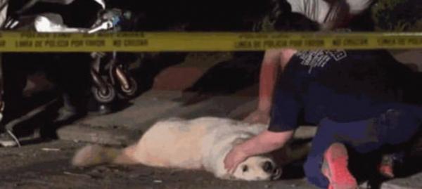 Cứu sống cả nhà chủ khỏi cuộc thảm sát, chú chó dũng cảm qua đời vì trúng đạn