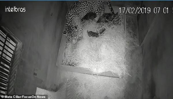 Báo đốm con sinh bằng phương pháp thụ tinh nhân tạo đầu tiên trên thế giới đã bị báo mẹ... ăn thịt