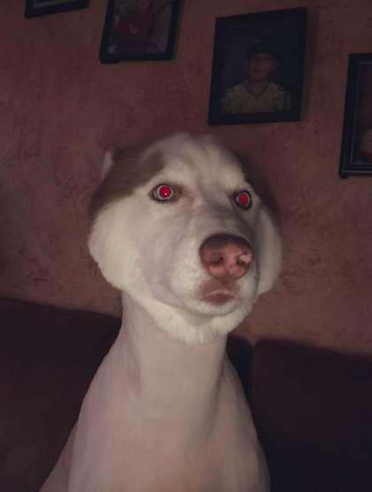 Sụp đổ hình tượng 'soái chó' sau lần trót dại tin lời chủ đi cạo lông... cho mát