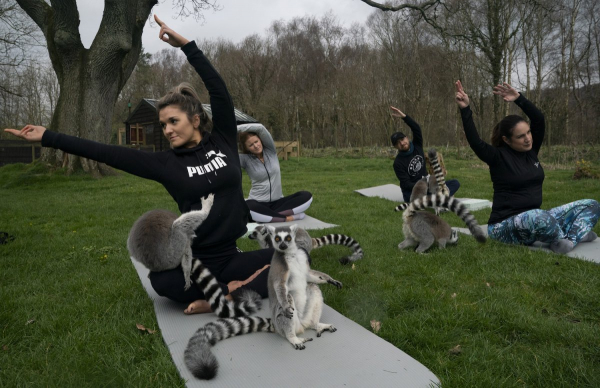 Khách sạn Anh cung cấp lớp học Yoga cùng vượn cáo để giúp du khách xả stress