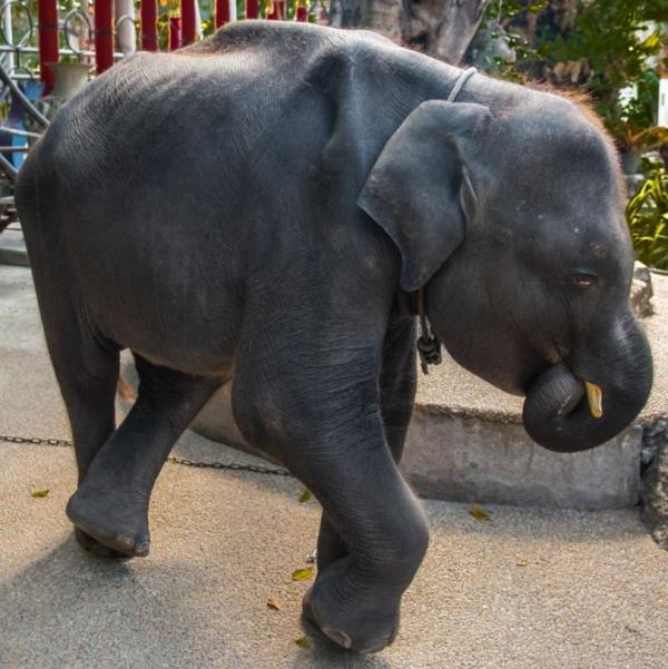 'Voi con Dumbo' ngoài đời thực gầy trơ xương, bị ép biểu diễn mua vui cho khách du lịch