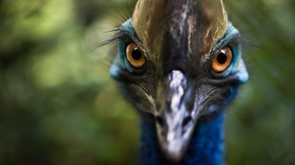 Loài chim nguy hiểm nhất thế giới tấn công và giết chết chủ nhân khi ông bị ngã vào nơi nuôi nhốt