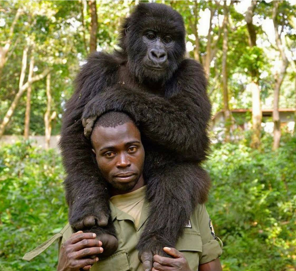 Khỉ đột tạo dáng selfie chuyên nghiệp cùng các anh kiểm lâm