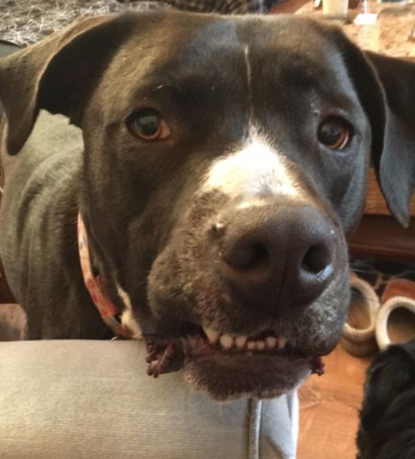 Hành trình đi hiến máu của anh gâu đần Milo: đến chó cũng có thể trở thành anh hùng