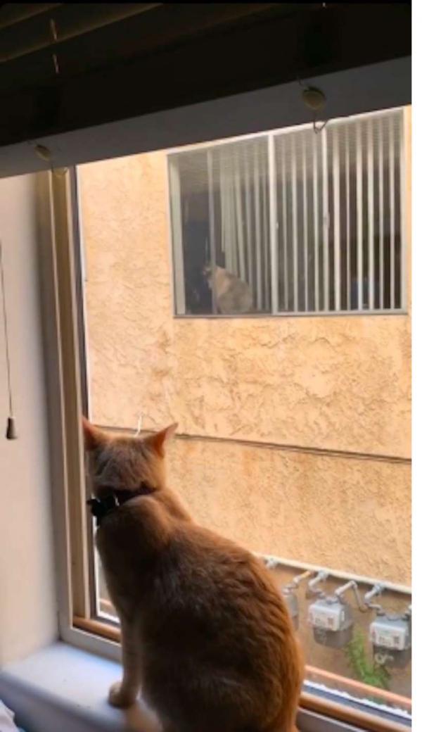 Chuyện tình ngang trái 'gần nhau trong tấc gang, mà biển trời cách biệt' của hai chú mèo