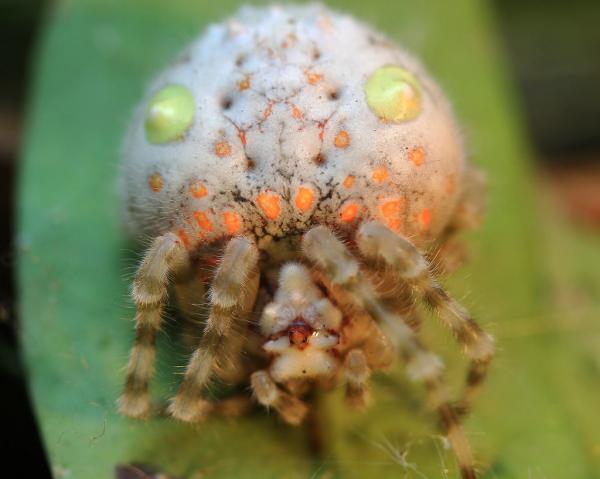 Loài 'nhện sushi' xuất hiện ở Úc một lần nữa khiến thế giới rùng mình khi nhắc đến đất nước này