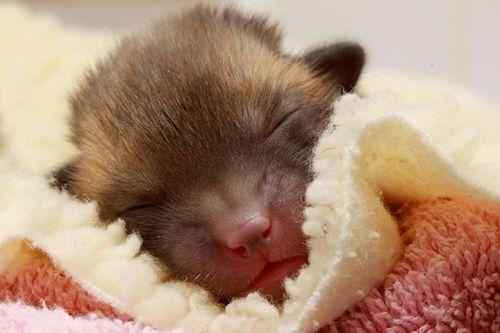 May mắn để đâu cho hết khi được một đàn cáo con dễ thương thế này ghé thăm nhà?
