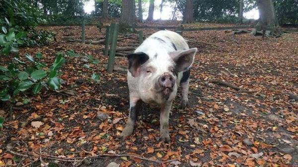Trường tiểu học Anh gây phẫn nộ khi định cho trẻ chăm sóc lợn rồi giết lấy thịt để dạy về chuỗi thức ăn