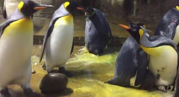 Bạn có biết vụ cánh cụt gay đã có từ lâu và cũng lắm drama?