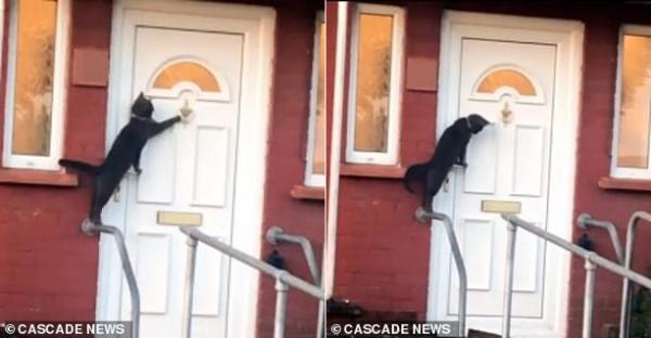 Gặp chú mèo lịch sự nhất quả đất, biết gõ cửa xin phép chủ cho vào nhà
