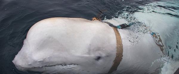 Phát hiện cá voi trắng nghi ngờ là lính do thám của Nga trên vùng biển Na Uy