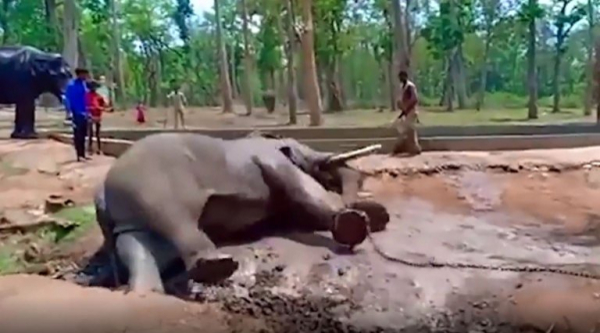 Chú voi đáng thương ngã quỵ và đột tử ngay trong công viên quốc gia