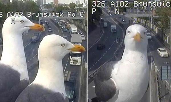 Hai chú mòng biển bất ngờ nổi tiếng nhờ... dí mặt vào CCTV trên đường phố London