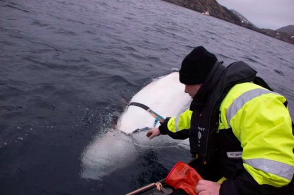 Chú cá voi gián điệp của Nga đã bỏ trốn sang Na Uy và không có ý định quay về