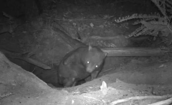 Chuyện hú hồn nước Úc: Camera ẩn phát hiện 3 loài động vật khác nhau chui ra từ cùng một... cái tổ