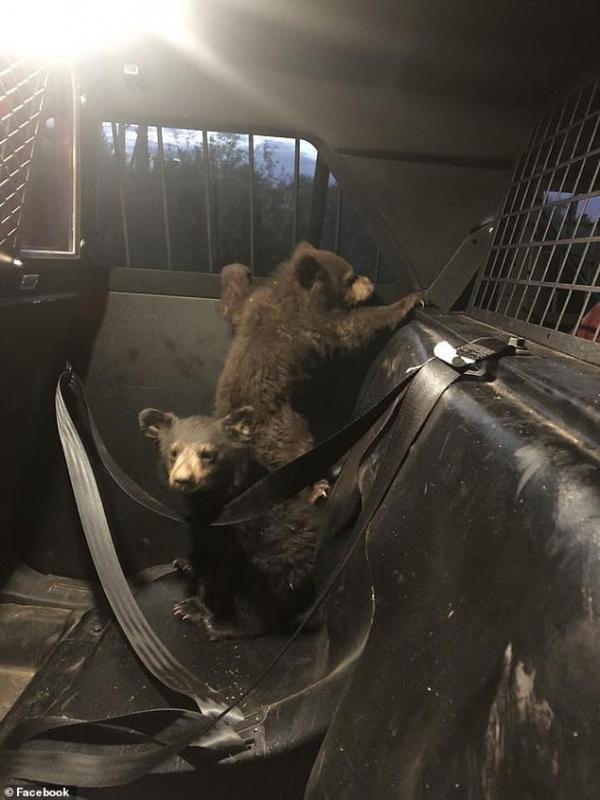 Sau khi gấu mẹ bị xe tông chết, cảnh sát nhanh trí bảo vệ ba chú gấu con mồ côi