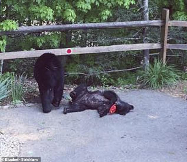 Mát trời, nhà gấu quyết định đến thư giãn trong bồn tắm nước nóng của con người