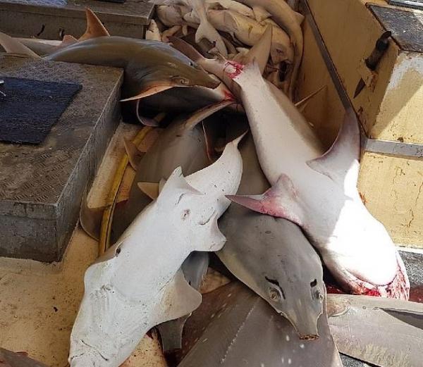 Hàng trăm cá mập tại Úc chết oan uổng vì bị mắc kẹt trong lưới đánh cá đặt dưới đáy biển