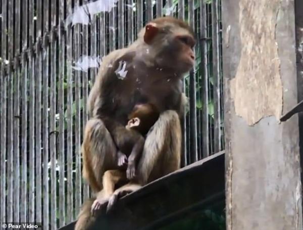 Xót xa với hình ảnh khỉ mẹ ôm chặt xác con không rời dù biết rằng chú khỉ con đã qua đời