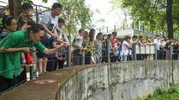Gấu mèo tại sở thú Trung Quốc bị béo phì và giảm khả năng sinh sản vì du khách cho chúng ăn quá nhiều