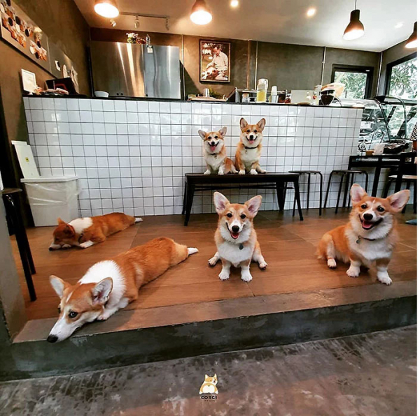 Khám phá quán cà phê chó Corgi có một không hai ở Thái Lan
