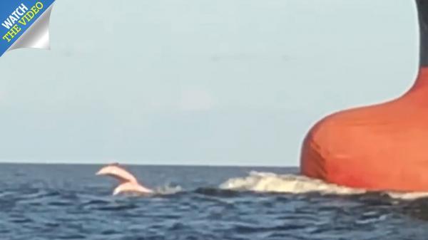 Em bé của loài cá heo hồng gần như tuyệt chủng xuất hiện lại trên sông khiến cả thế giới mừng rỡ