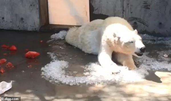 Chú gấu Bắc Cực đáng thương ở sở thú phải cố gắng vùi mình trong nước đá vì quá nóng