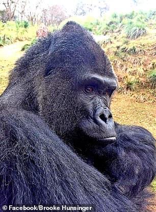 Hài hước: Đàn khỉ đột sống trong sở thú nhăn nhó tìm chỗ trú thân vì cực ghét trời mưa