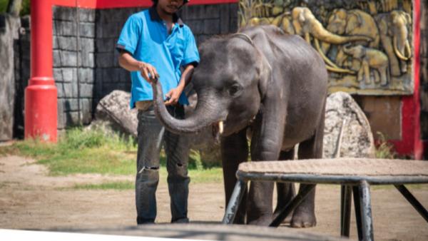 Bé voi 'Dumbo đời thực' bản Thái Lan bị ngược đãi tới gãy chân rồi qua đời