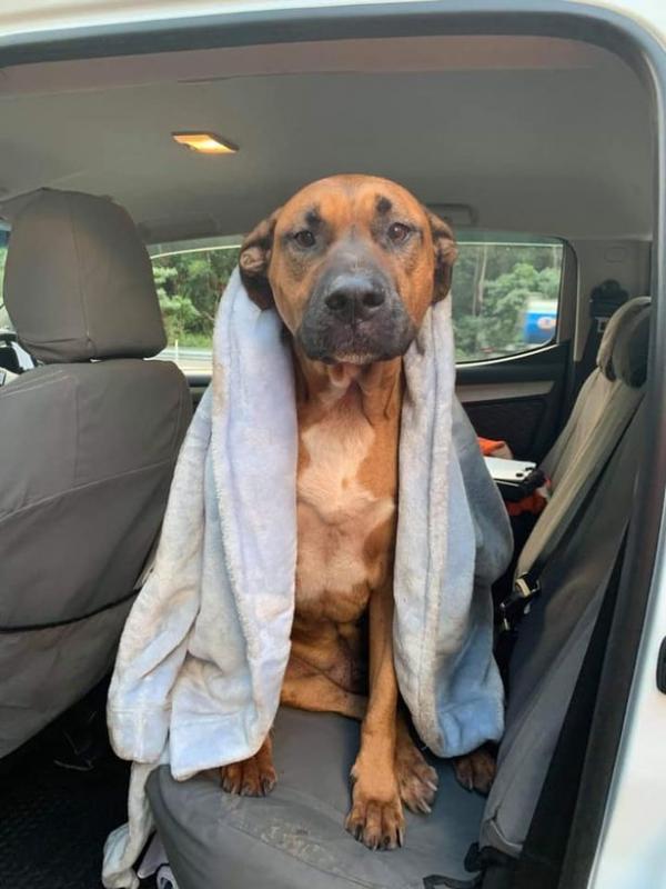 Chủ gặp tai nạn bị thương nặng, chú chó trung thành vẫn kề bên chủ cho tới lúc lìa đời