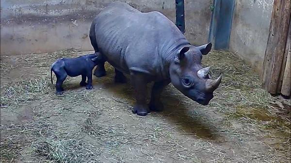 Tê giác đen trong diện cực kỳ nguy cấp hạ sinh con non khiến cả thế giới có thêm hy vọng