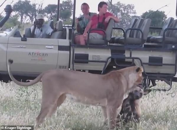 Chó hoang giả chết khi bị sư tử ngoạm cổ rồi tìm cơ hội tẩu thoát nhanh gọn