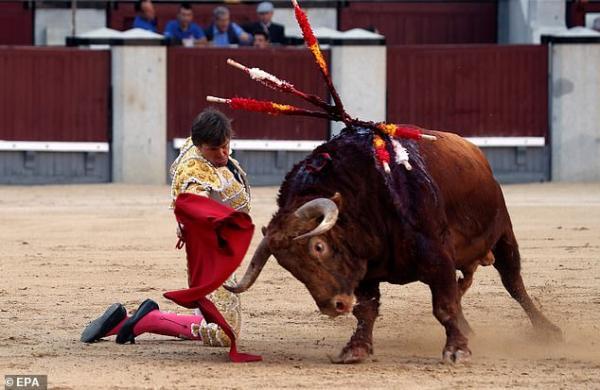 Đấu sĩ suýt chết khi bị con bò tót húc thẳng vào... mông