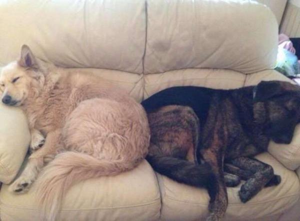 Bạn qua đời, chú chó ngày ngày ôm gối in hình bạn mà ngủ