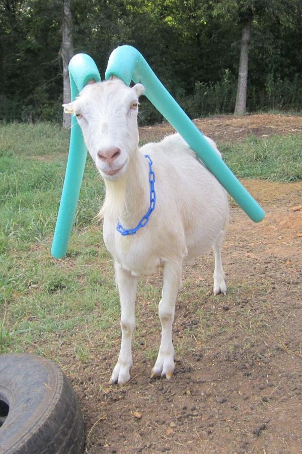 Hài hước muôn kiểu đeo bảo hộ sừng cho dê để chúng không phá làng phá xóm