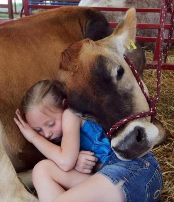 Những chú bò ngáo ngơ lúc nào cũng tưởng mình là cún cưng bé bỏng