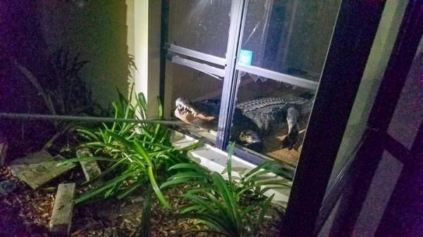 Cá sấu khổng lồ giữa đêm đi dạo giữa đường phố rồi tiện 'chân' ghé thăm luôn nhà bà cụ 77 tuổi