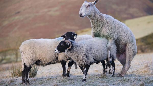 Tin siêu buồn cho cừu cái: Nghiên cứu chứng minh cứ 12 cừu đực thì có 1 con đồng tính