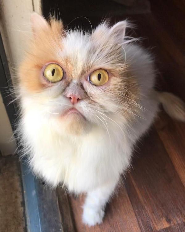 Gặp gỡ Louis - Chú mèo được gọi là 'hậu bối của Grumpy' vì gương mặt ông già cau có