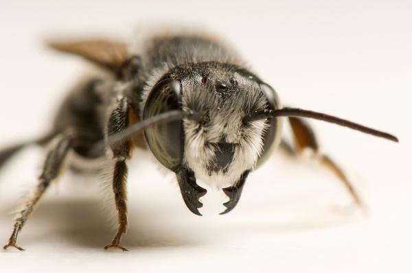 Đối phó với ô nhiễm, ong dại 'tập tành' dùng nylon để xây tổ