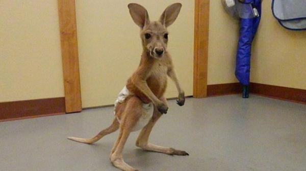 Bác sĩ thú y gây phẫn nộ vì cho chuột túi mặc tã lót để rao bán trên Facebook