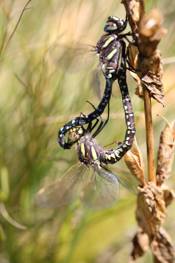 Chuồn chuồn cái giả chết để tránh phải... giao phối với con đực hám gái, mê thả thính