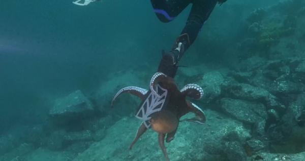 Đáng sợ: Đang lặn dưới biển thì bị bạch tuộc khổng lồ níu chặt