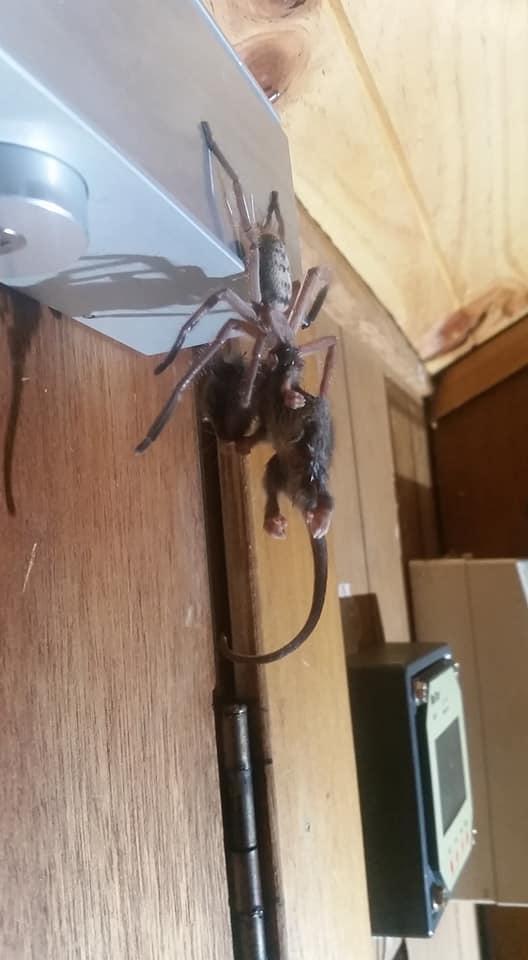 Hết hồn cảnh tượng nhện 'siêu to khổng lồ' đang xơi tái một con thú có túi