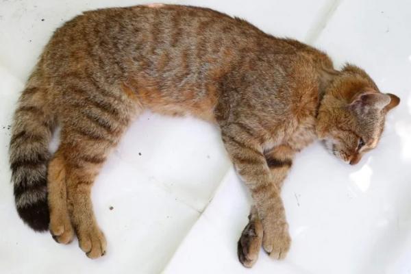 Xuất hiện 'hoàng thượng' mới toanh: Loài mèo cáo Địa Trung Hải lần đầu được biết tới