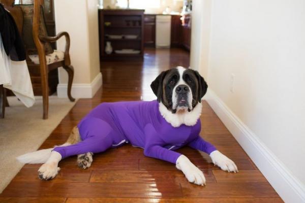 Bộ đồ một mảnh cho chó giúp chủ nhân đỡ đi phần nào công việc dọn lông rụng trong nhà