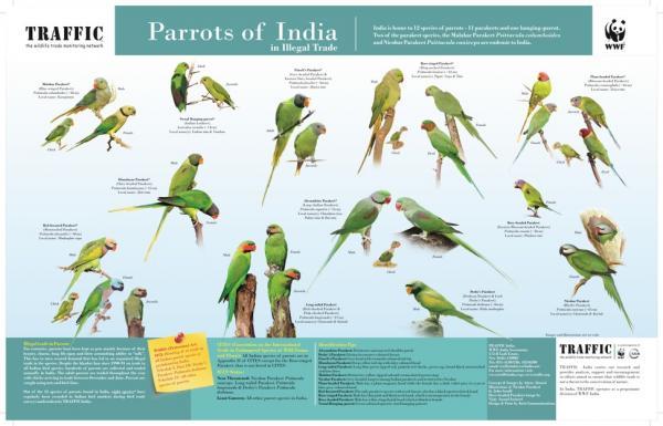 Đang ngày ngày xem bói, vẹt Ấn Độ 'bị' các nhà bảo tồn động vật thu giữ vì nguy cơ tuyệt chủng