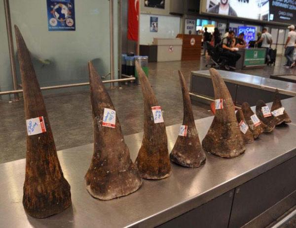 Sừng tê giác đang bị tiêm thuốc độc để ngăn chặn những kẻ săn trộm tàn ác