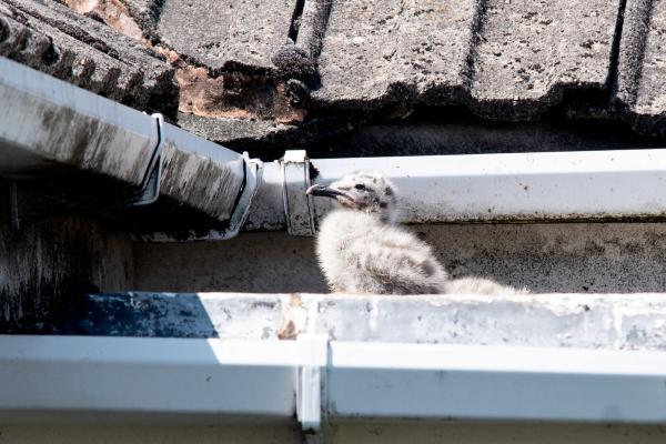 Chim mòng biển giận dữ bắt cặp vợ chồng già làm 'con tin', không cho ra khỏi nhà một tuần lễ